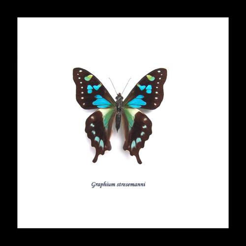 Graphium stresemanni Bits&Bugs