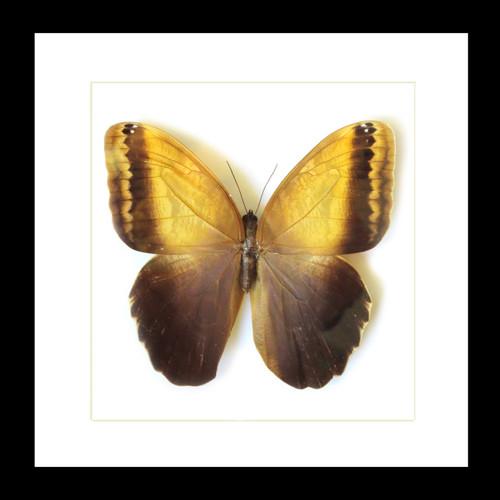 Caligo memnon telamonius