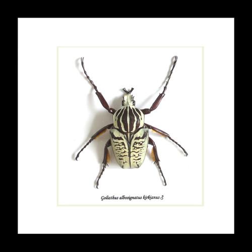 Goliath albosignatus kirkianus