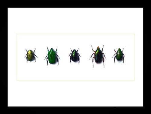 Australian beetles in frame Bits & Bugs