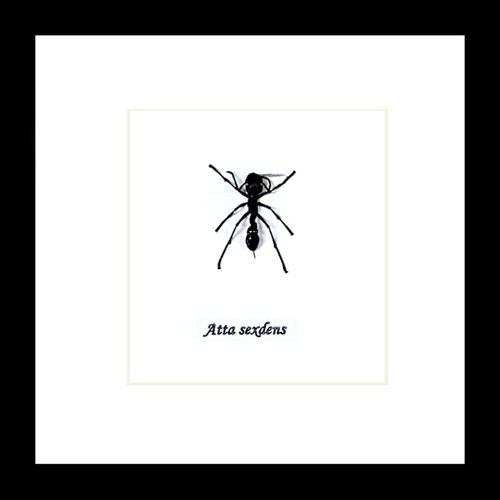 Leaf cutter ant Atta sexdens