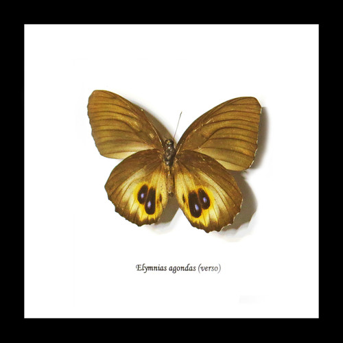 Australian butterfly in shadowbox frame Bits & Bugs