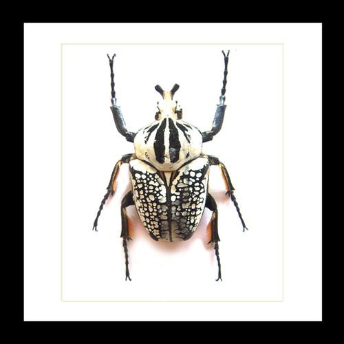 Goliath orientalis male