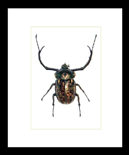 Scarab beetle Cheirotonus peracanus