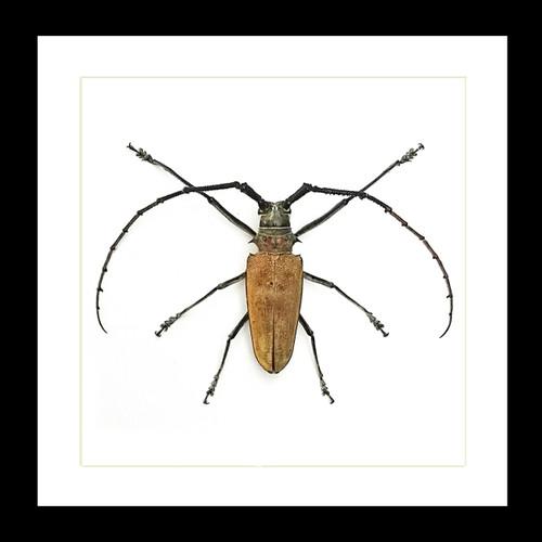 Beetle Batocera numitor Bits & Bugs