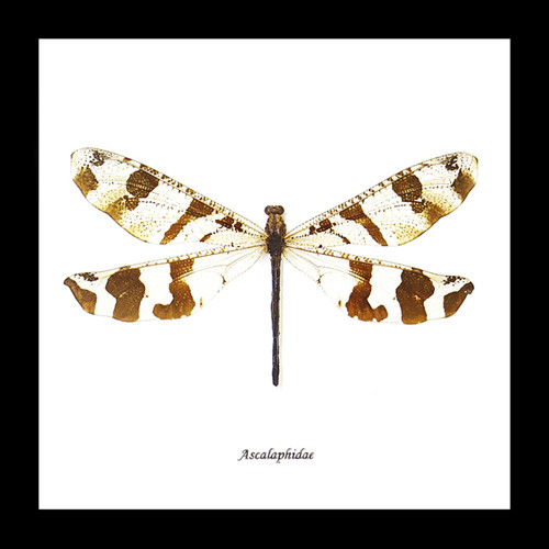 anllion dragonfly damselfy insect