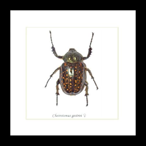 Cheirotonus gestroi female