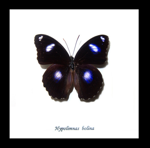 Australian butterfly Hypolimnas bolina Male Bits&Bugs