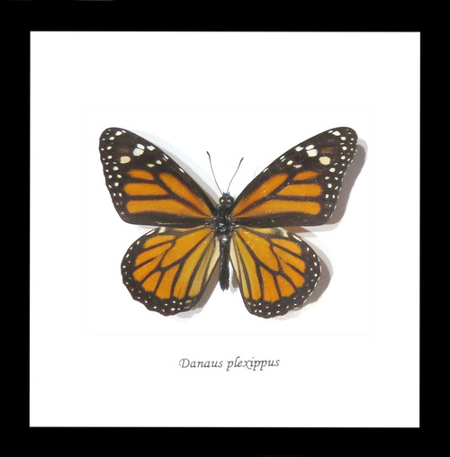 Monarch butterfly Bits&Bugs