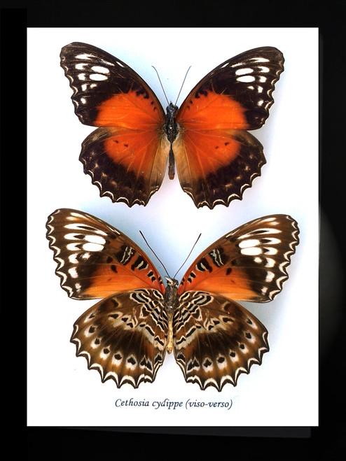 Australian butterfly in frame