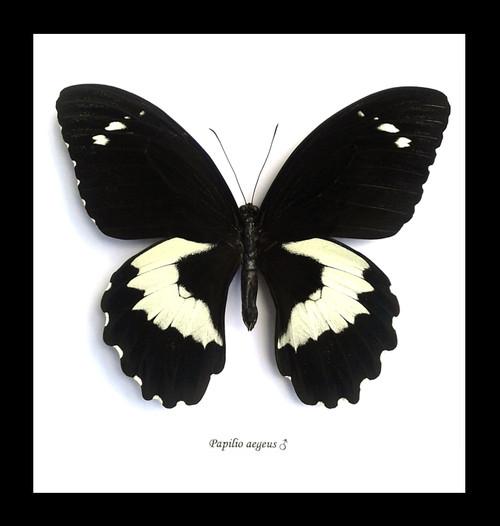 Papilio aegeus Bits and Bugs