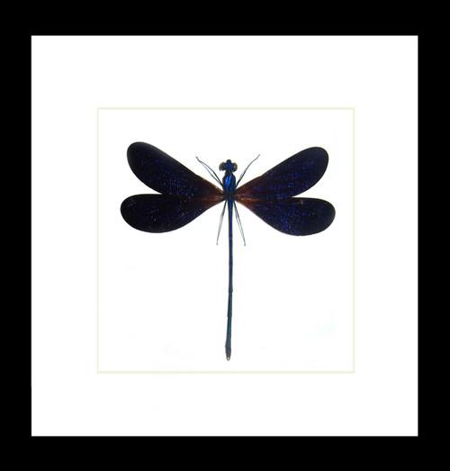 Vestalis luctuosa Bits & Bugs