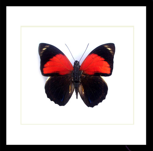real Agrias tryphon butterfly in frame