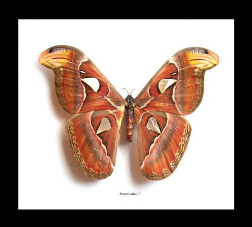 Framed moths  Atlas attacus Bits & Bugs