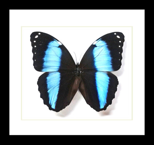Morpho achilles male Bits&Bugs