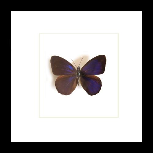 Eunica species Bits&Bugs