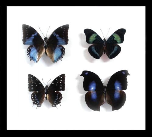 Blue butterflies Bits & Bugs