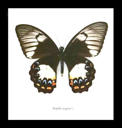 Bits & Bugs Papilio aegeus