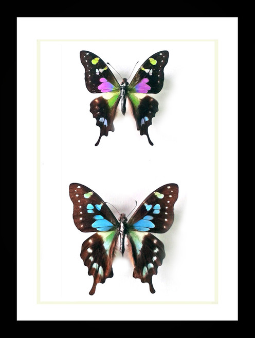 Graphium weiskei and Graphium stressemanni Bits & Bugs