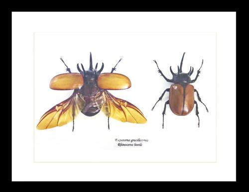 Rhino beetle taxidermy Eupatorus gracilicornis Bits & Bugs
