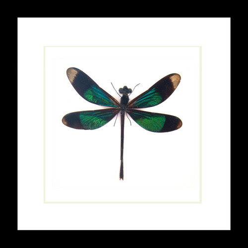 Bits & Bugs Calopteryx virgo dragonfly