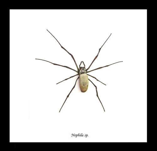 Nephlia  spider Colour B