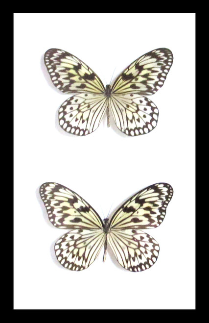 butterfly for sale Australia home decor interior design  Ideopsis sp