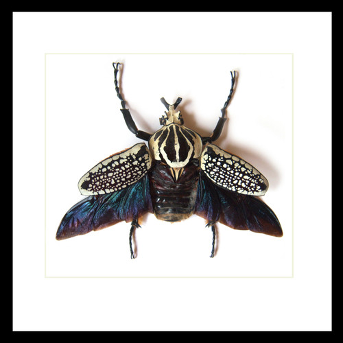 Goliathus orientalis  African beetle Bits and Bugs