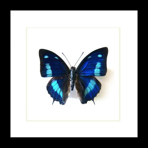 Blue butterfly Anaea cyanea Bits & Bugs