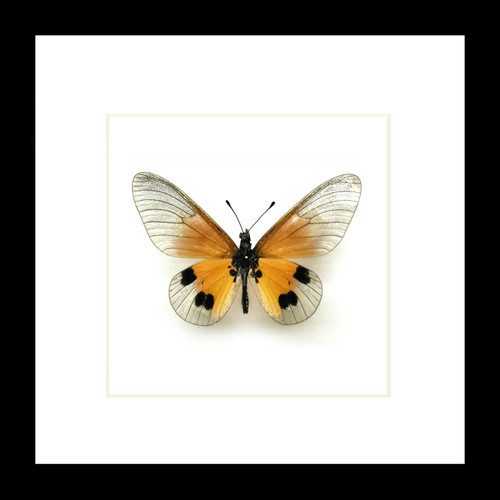 Framed butterfly collection Acraea igati  Bits & Bugs