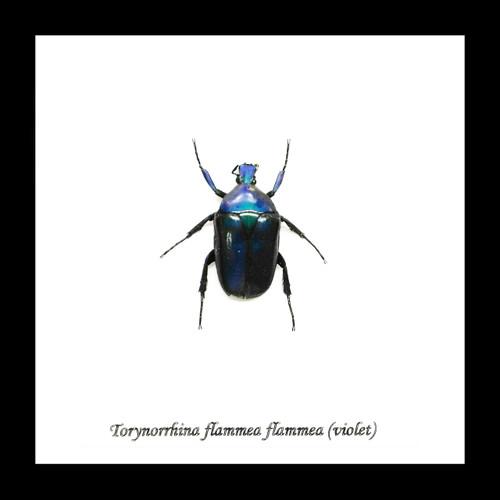 Beetle Torynorrhina flammea Bits & Bugs
