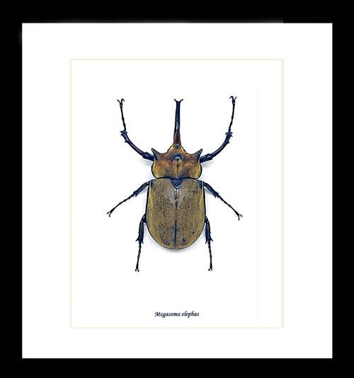 Beetle Megasoma elephas Bits & Bugs