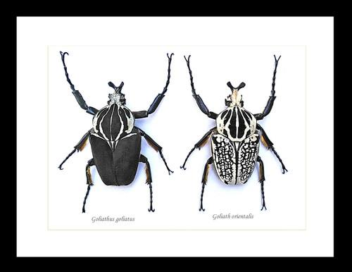 Real giant beetle Goliath orientalis Goliath goliatus  Bits & Bugs
