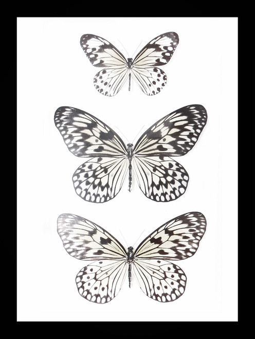 Real entomological butterfly specimen Ideopsis species Bits & Bugs