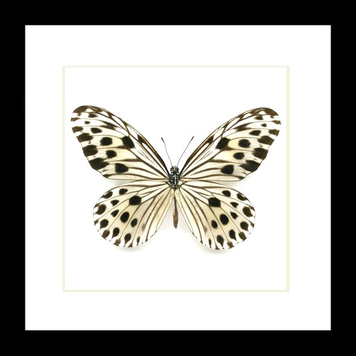 Butterfly black and white framed Bits&Bugs