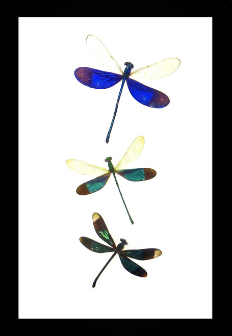 Real dragonfly species in frame Bits & Bugs
