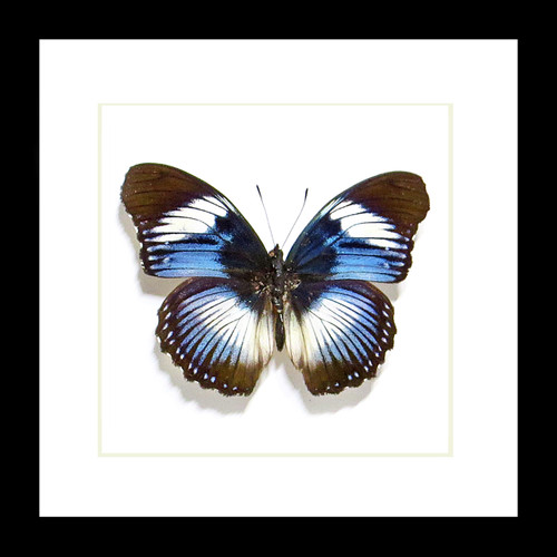 African butterfly Hypolimnas monteironis Bits and Bugs
