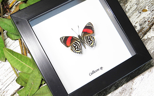 Butterfly framed Callicore species Bits & Bugs