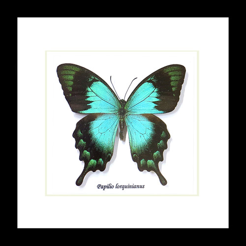 butterfly papilio insect taxidermy entomology
