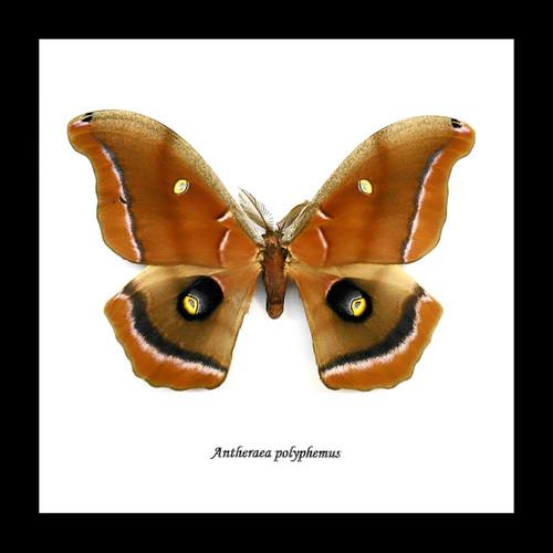 Moths saturnids for sale  Australia  Bits & Bugs