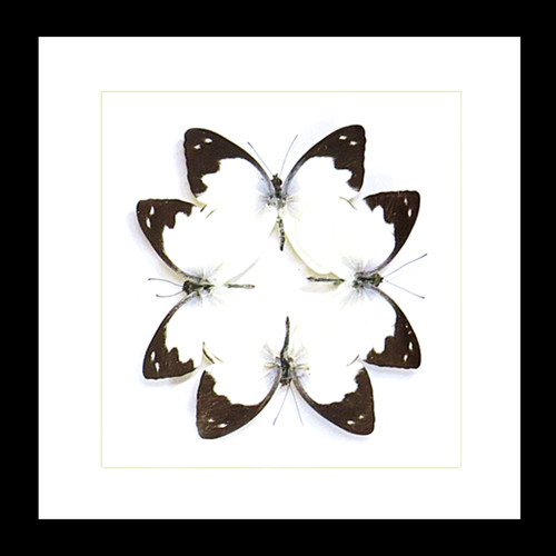 Appias indra butterflies for sale