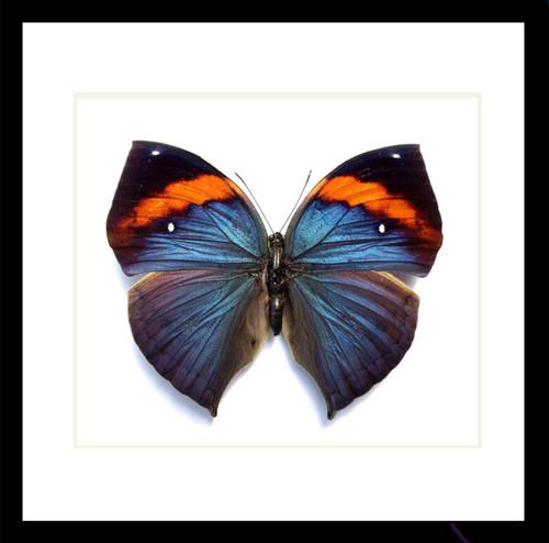 butterfly insect taxidermy Kallima limborgii amplirufa Bits & Bugs