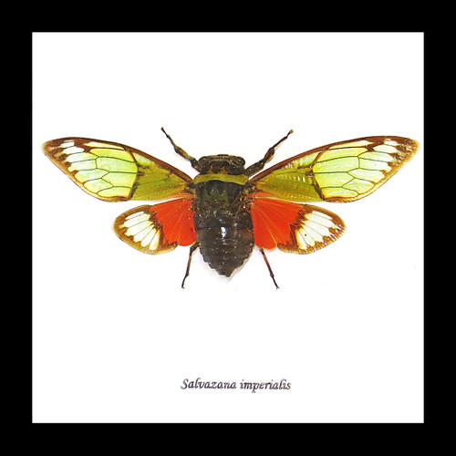 cicada bug insect for sale taxidermy Salvanza imperialis