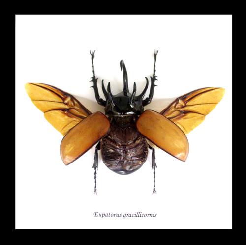Eupatorus gracilicornis Rhinoceros beetle