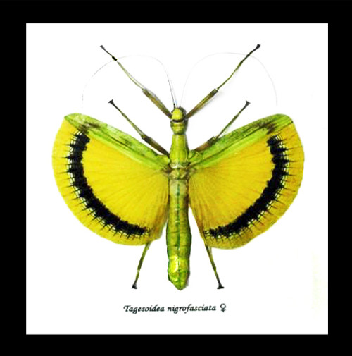 Phasmid insect Tagesoidea nigrofasciata Bits & Bugs