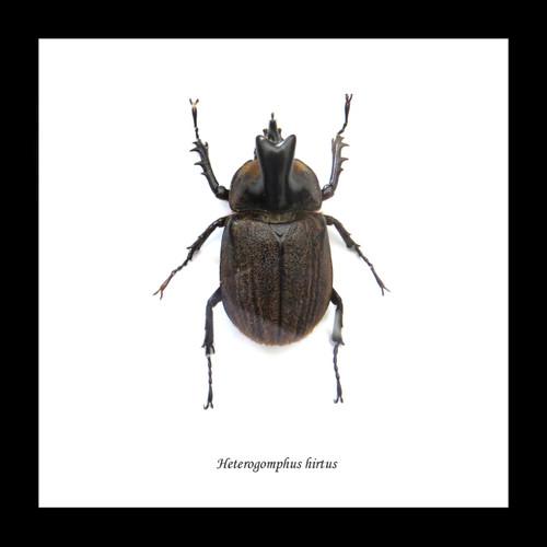 Heterogomphus hirtus