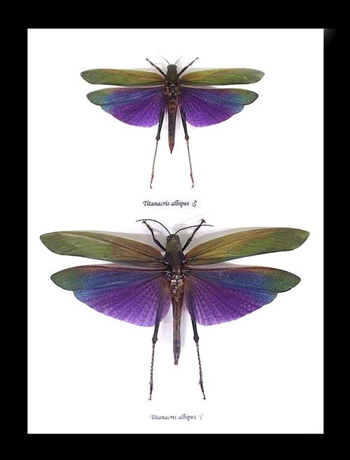 Grasshopper purple Titanacris albipes  Bits & Bugs