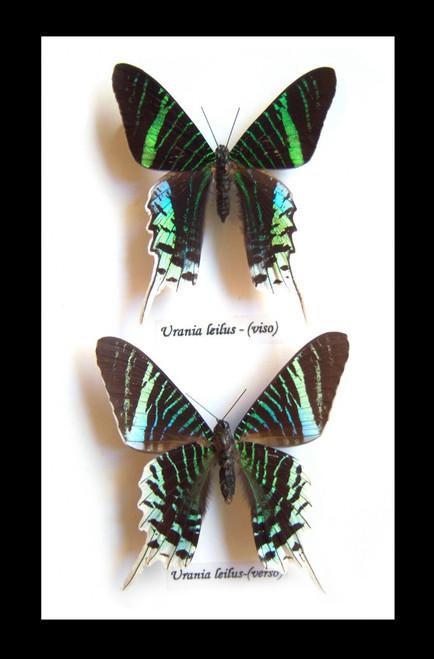 Framed butterflies moths for sale