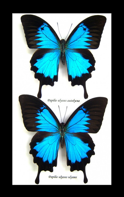 Australian butterfly Dunk Island Papilio ulysses