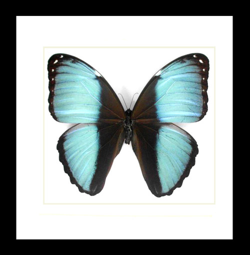 Real butterfly frame Morpho patroclus Bits&Bugs